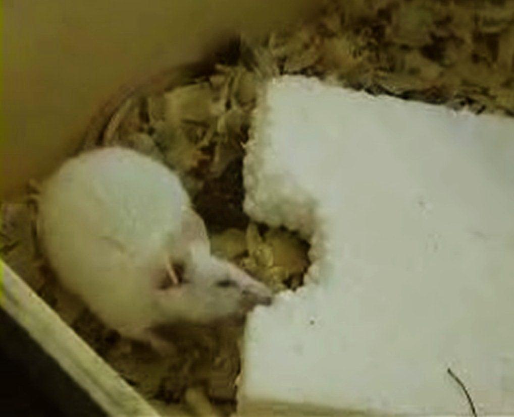 Данный материал не стоит применять в помещениях, подверженных заражению мышами или другими мелкими грызунами