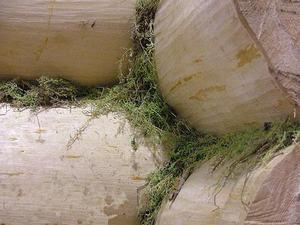 Кукушкин лен между венцами.