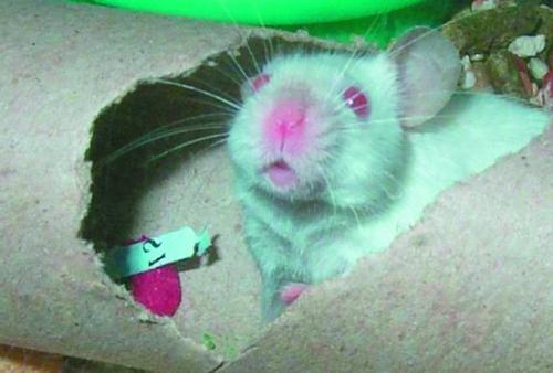 Мыши отнесутся к новому утеплителю без особого трепета.