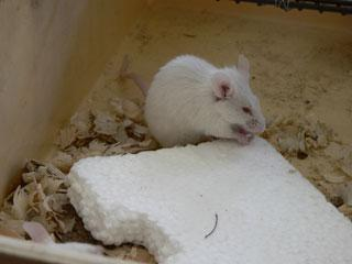 Пенопласт – лакомство для голодной мыши.