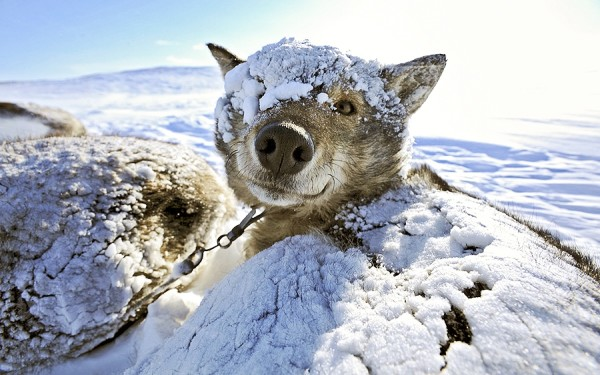 Плотный подшерсток прекрасно защищает от холода.