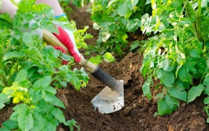 Рыхление почвы тяпкой