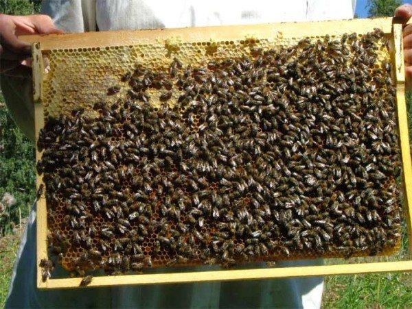 Сота с пчелами