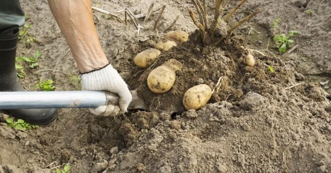 Уборка картофеля вручную лопатой