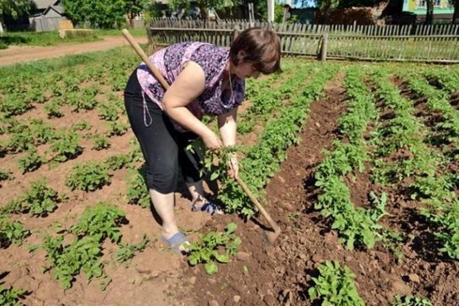 Удаление сорняков на картофельной грядке